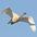 Juvenile in flight
