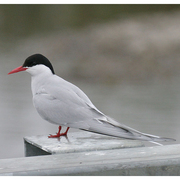 Adult breeding. Note: short all red bill and legs