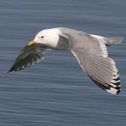 Adult breeding. Note: small, unmarked yellow bill and large white mirror on wing.