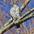 Juvenile Northern Goshawk. Note: white supercilium