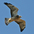 Juvenile (intermediate morph) in flight