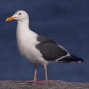Adult breeding. Note: dark gray mantle, darker primary tips, and pink legs.